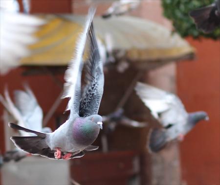 angst voor duiven